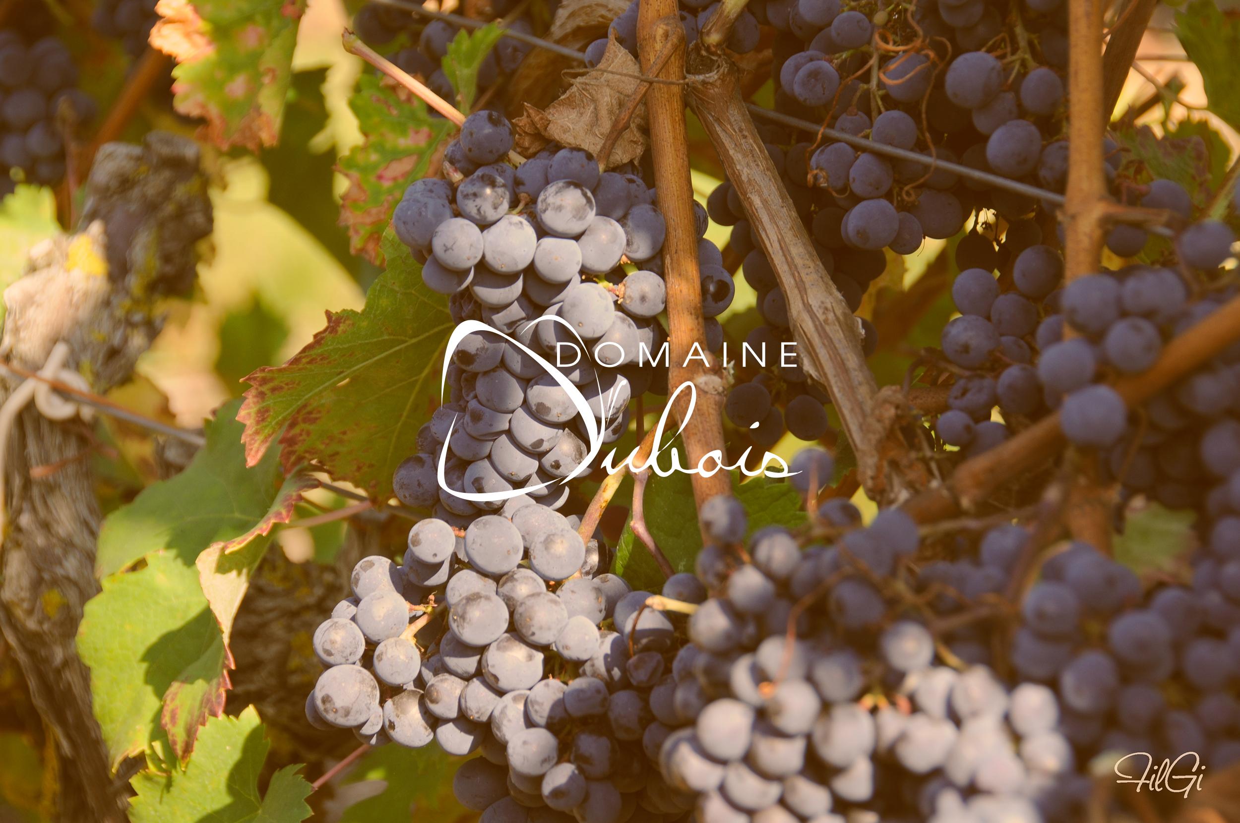 5-raisin-domaine-christelle-dubois